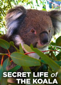 Secret Life of the Koala